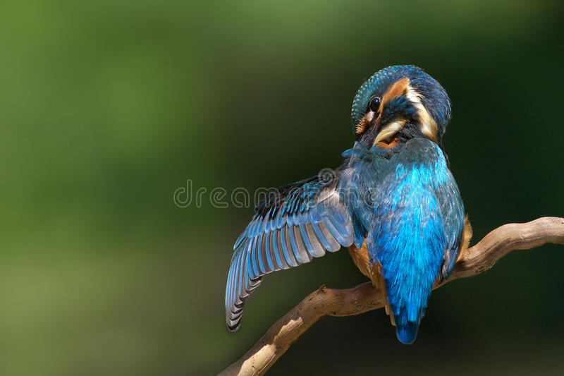 Download Kingfisher stock photo. Image of branch, common, blue - 21421994