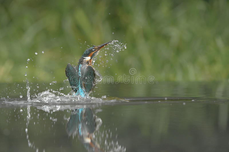 kingfisher fotografie stock libere da diritti