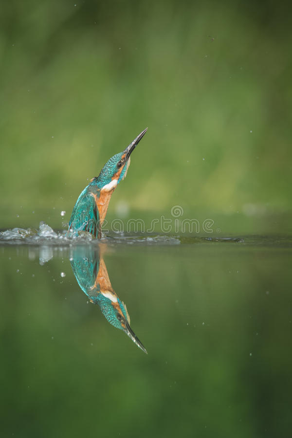 kingfisher immagini stock libere da diritti
