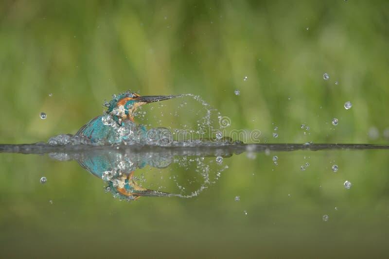 kingfisher stockbild