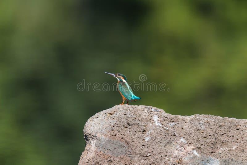 kingfisher immagine stock libera da diritti