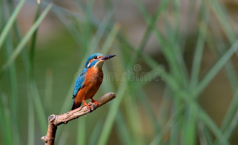 kingfisher imagem de stock royalty free