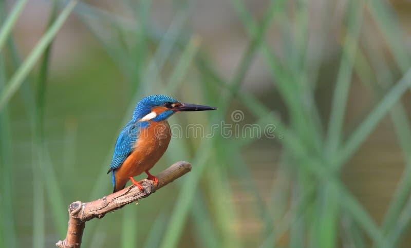 kingfisher fotos de stock royalty free
