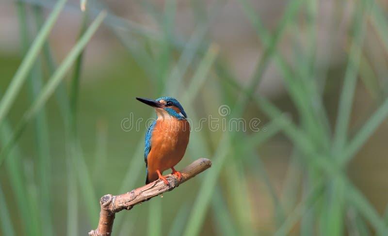 kingfisher fotos de stock