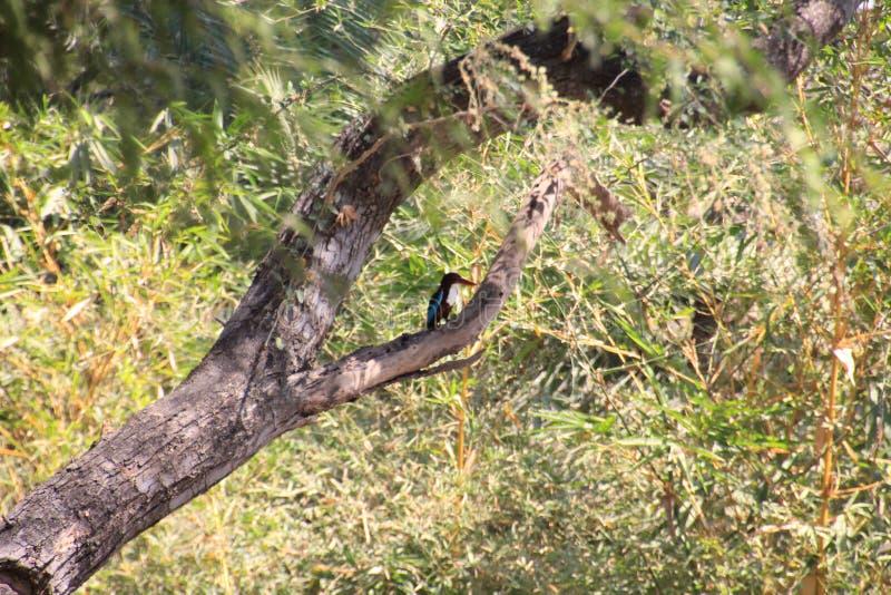 kingfisher fotografia stock libera da diritti