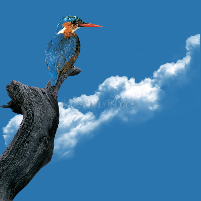 Kingfisher. (Alcedo atthis) аgainst the sky royalty free stock photography