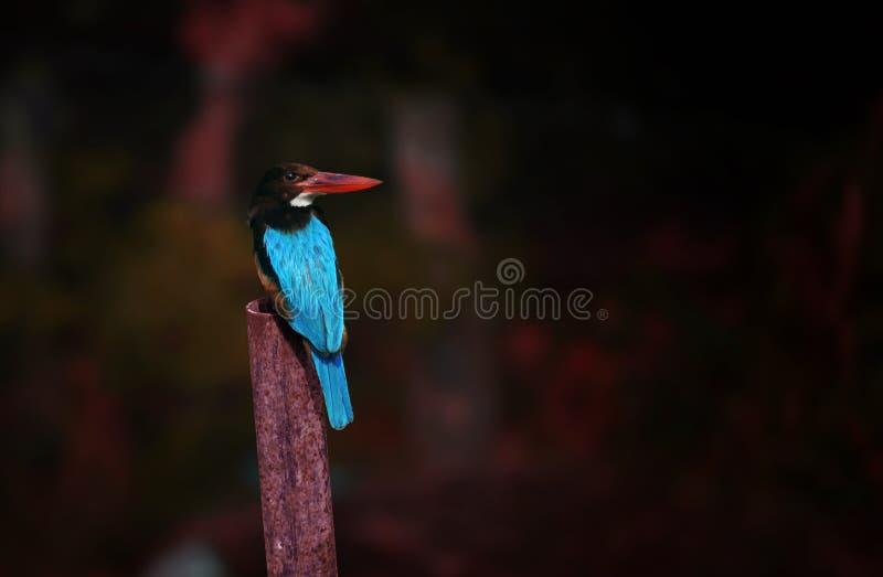 kingfisher immagini stock