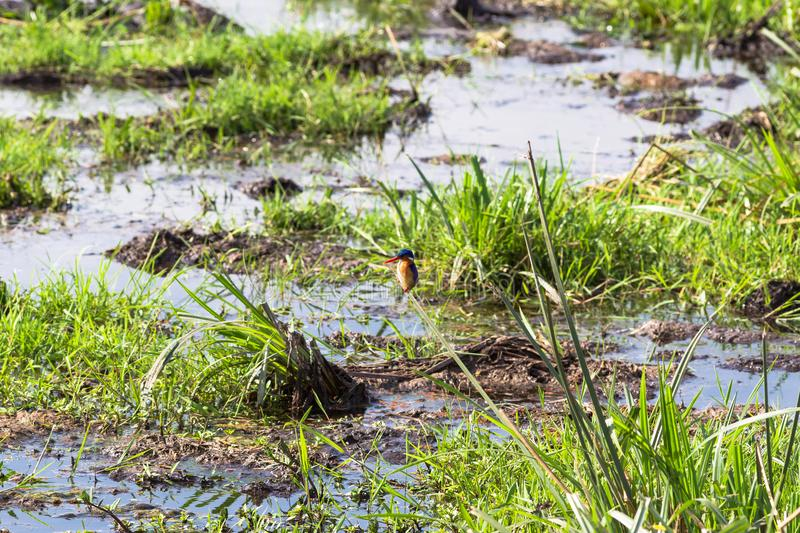 Kingfisher above the swamp. Kenya, Africa. Kingfisher above the swamp. Kenya, East Africa royalty free stock image