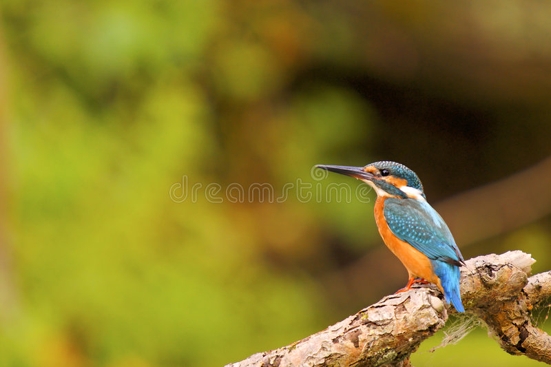 Kingfisher(Alcedo atthis) stock image