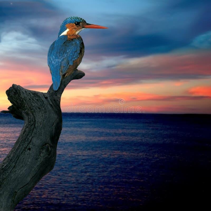 Kingfisher (Alcedo atthis) stock photos