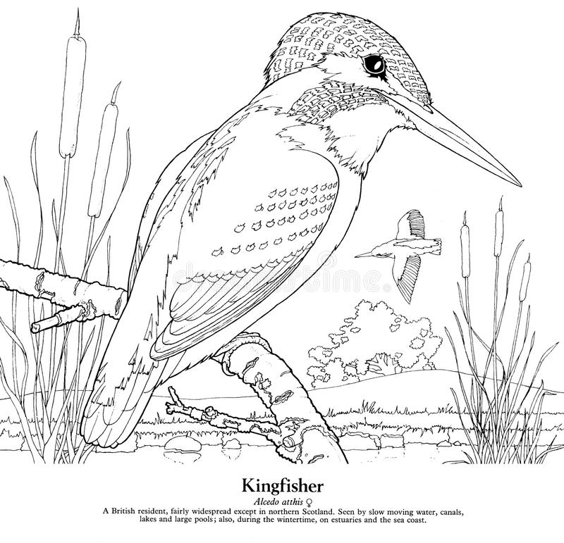 Kingfisher Alcedo atthis. A British resident, fairly widespread except in northern Scotland. Seen by slow moving water, canals, lakes and large pools; also royalty free illustration