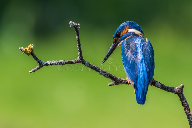 Kingfisher Alcedo atthis immagini stock