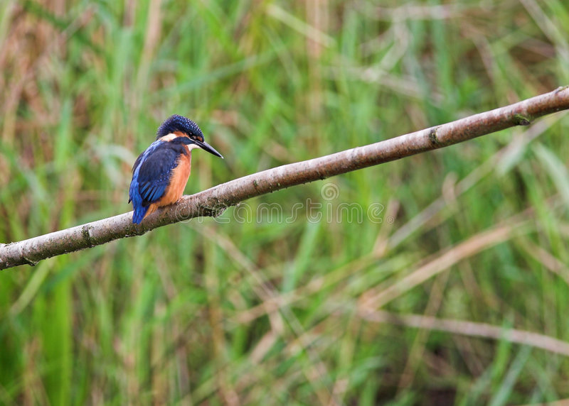 Download Kingfisher - Alcedo Atthis - Perching Stock Photo - Image of alcedo, perching: 5939958