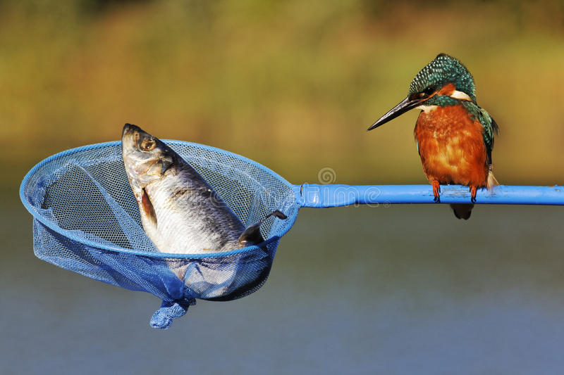 Download Kingfisher, Alcedo atthis stock image. Image of humour - 31917271