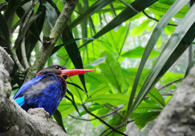 Kingfisher bird, Bali wild life. An image of a Javan kingfisher, an exotic tropical bird found only in Java and the island of Bali. Bright and colorful