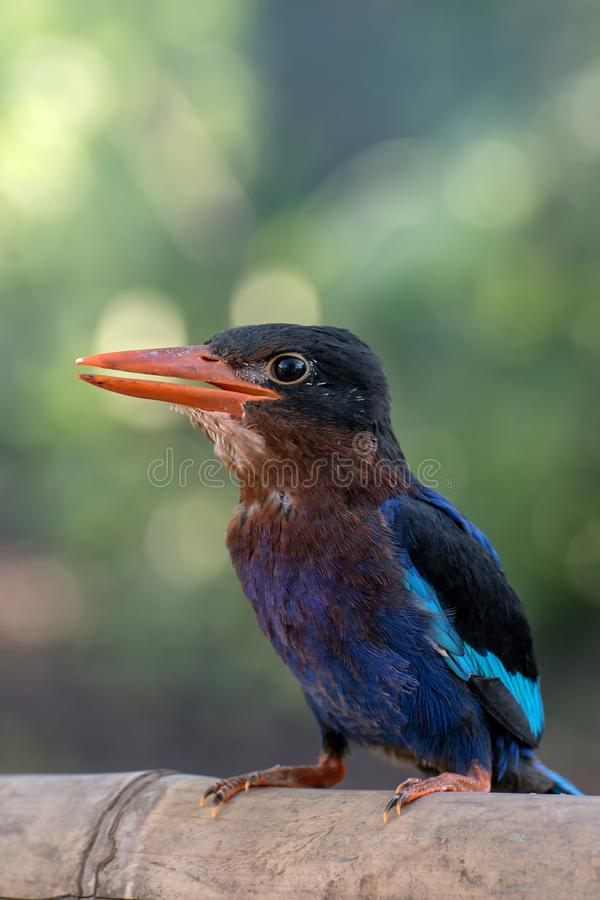 Kingfisher bird royalty free stock images