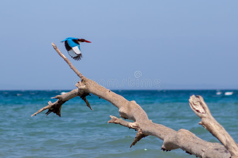 Kingfisher bird taking off from fallen tree on a. stock photography