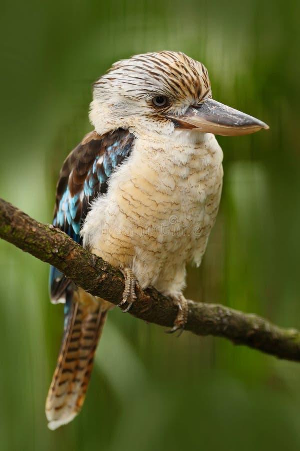Free Kingfisher Blue-winged Kookaburra, Dacelo Leachii, Australia. Bird Near The River. Kingfisher In The Nature Water Grass Habitat. Stock Images - 75944904