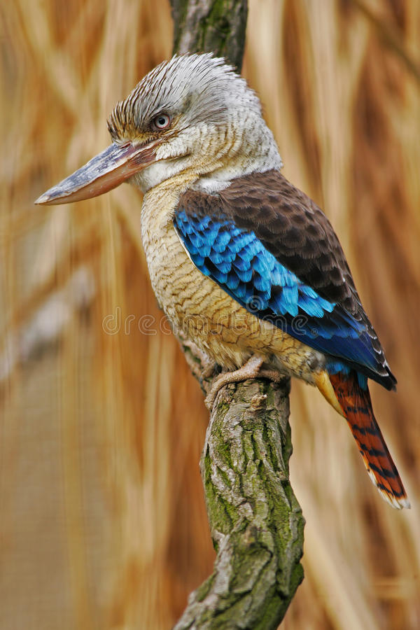 Free Kingfisher Blue-winged Kookaburra, Dacelo Leachii, Australia. Bird Near The River. Kingfisher In The Nature Water Grass Habitat. Royalty Free Stock Photography - 75950957