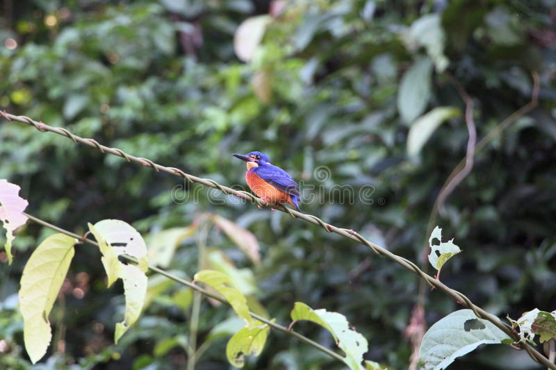 Kingfisher Borneo. The blue-eared kingfisher (Alcedo meninting) is found in Asia, ranging across the Indian subcontinent and Southeast Asia. It is found mainly royalty free stock photography