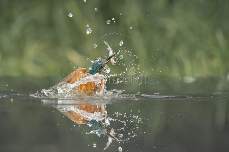 Kingfisher with catch. royalty free stock photography