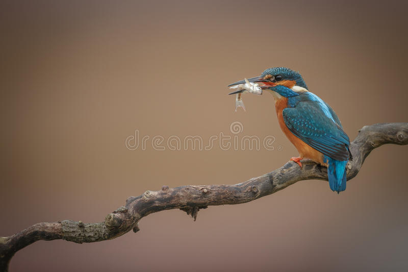 Kingfisher with catch on twirly branch royalty free stock images