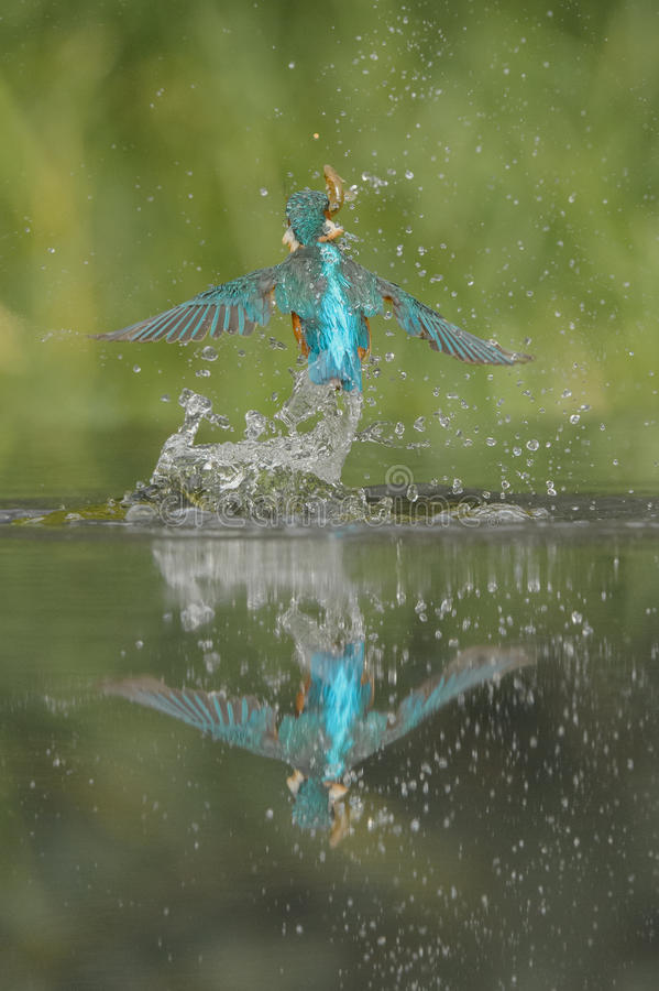 Kingfisher with catch. royalty free stock images