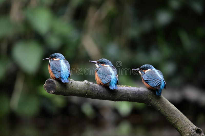 Download Kingfisher chicks. stock image. Image of atthis, nature - 26175843