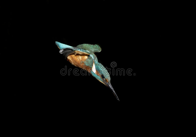 Kingfisher Diving stock images