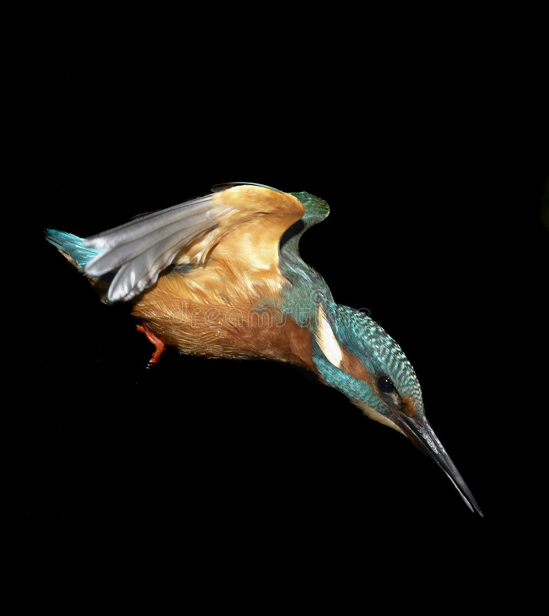 Kingfisher diving stock photo