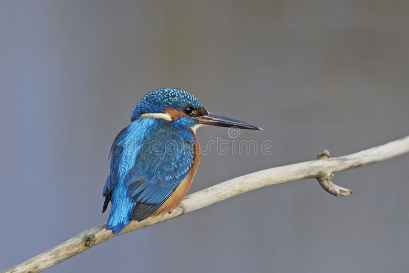 kingfisher för alcedoatthiscommon royaltyfria bilder