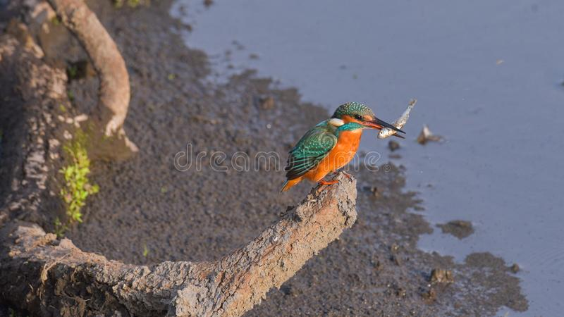Kingfisher with fish in its beak. Laid on the branch above the river royalty free stock image