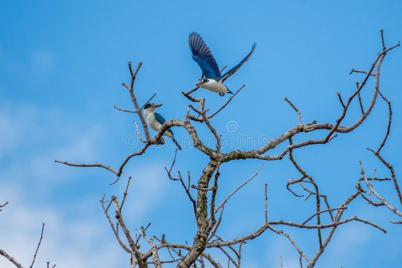Kingfisher Halcyon chloris-bird, Collared royaltyfri fotografi