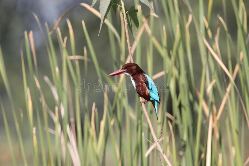 Kingfisher. This is a large kingfisher, 28 cm in length. the adult has a bright blue back, wings and tail, its head, shoulders, flanks and lower belly are stock photos