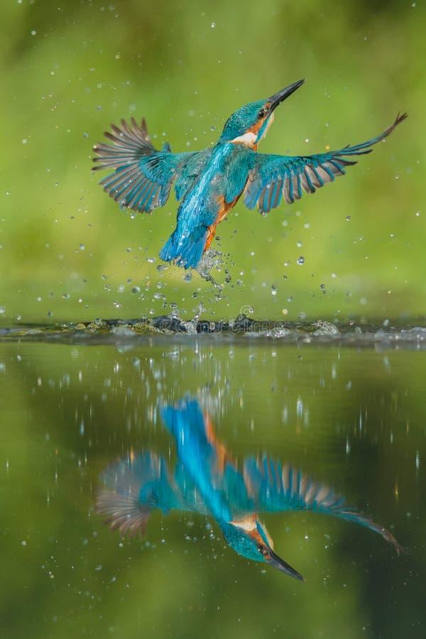 Kingfisher stock images