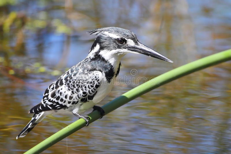 kingfisher pied стоковое фото rf
