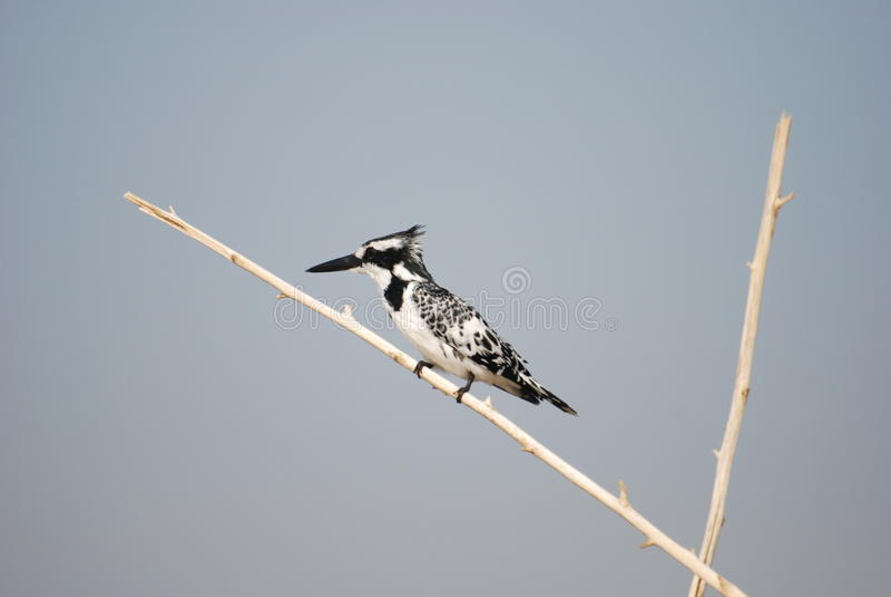 Kingfisher Pied Стоковые Фотографии RF
