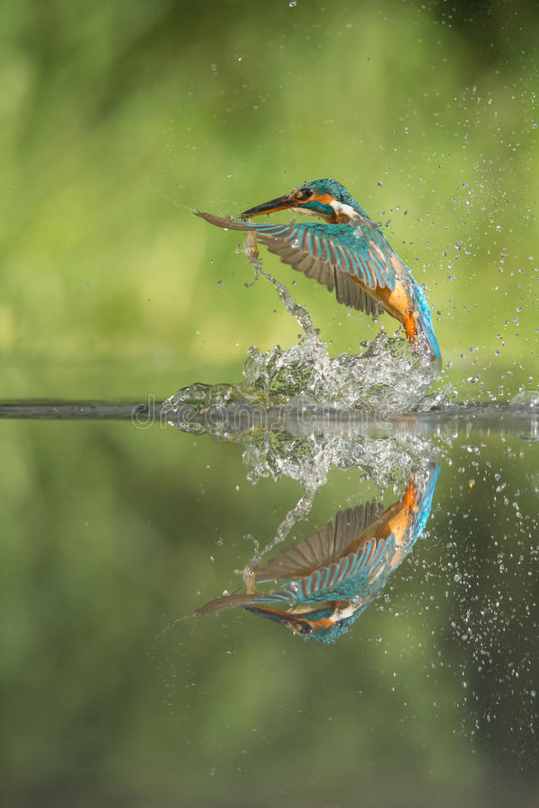 Kingfisher with Prey stock images