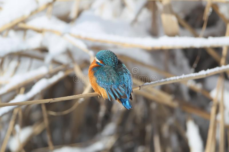 Kingfisher sits on a thin reed and warms his beak. In feathers stock photo