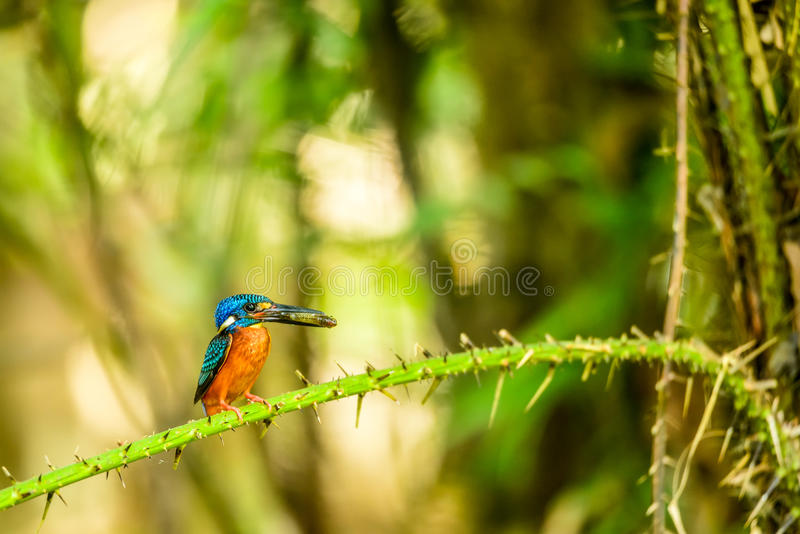 Kingfisher with small fish in its mouth. In forest of Thailand royalty free stock images