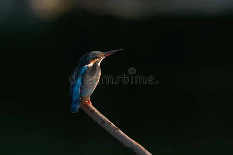 Kingfisher standing on a branch, prepareing to catch fish royalty free stock photo