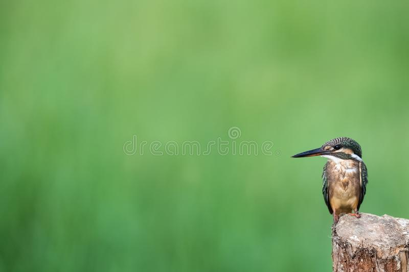 Kingfisher standing on wooden royalty free stock images