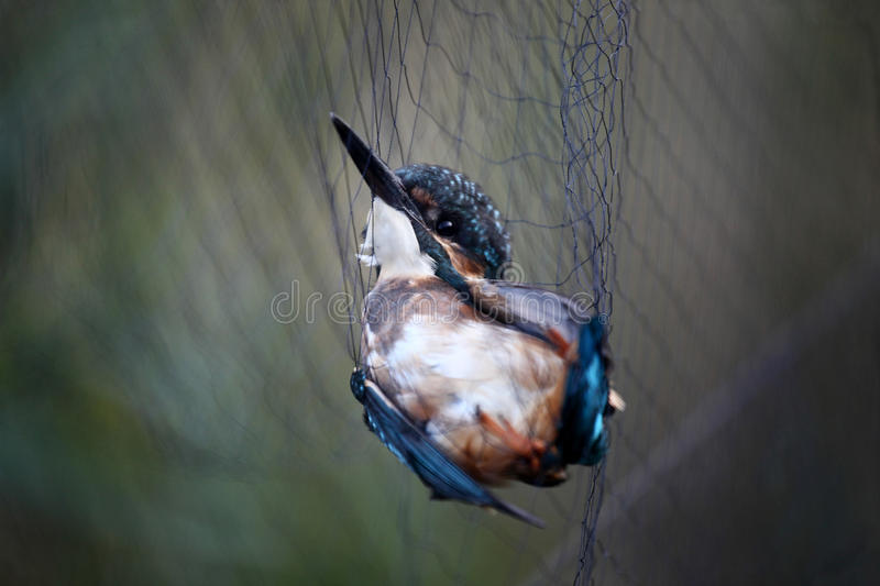 Kingfisher trapped stock photo