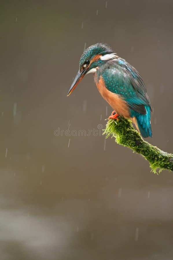 Kingfisheren regnar in fotografering för bildbyråer