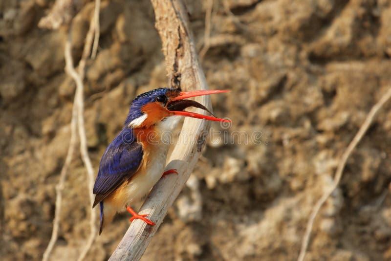 kingfishermalachite royaltyfria bilder
