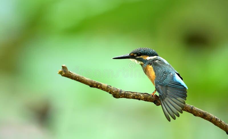 kingfishers imagen de archivo