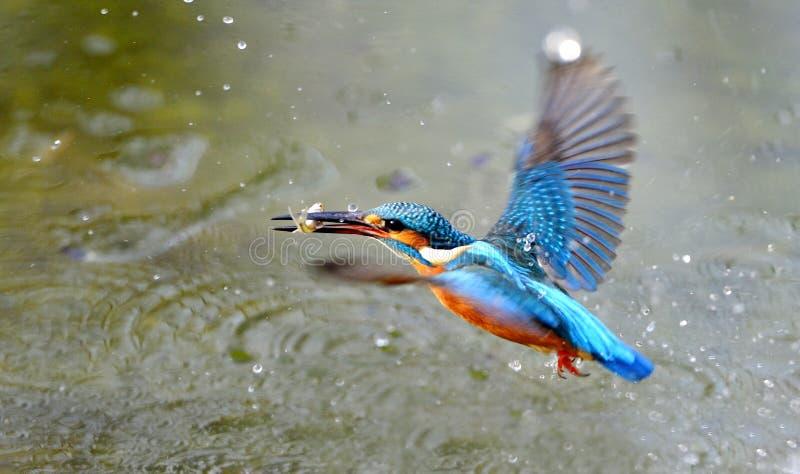 Kingfishers Royalty Free Stock Images