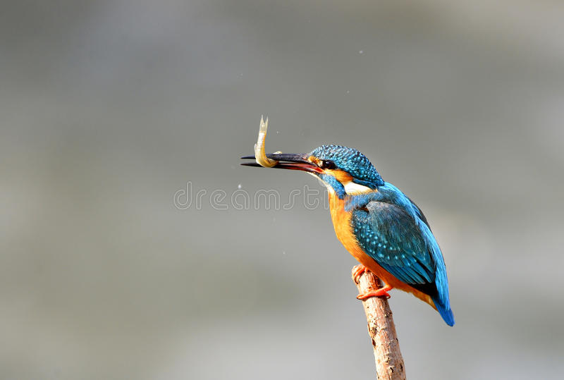 Download Kingfishers stock image. Image of animals, bird, gesture - 37176861