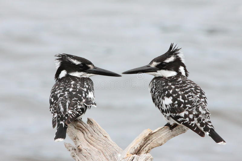 kingfishers pied стоковое фото rf