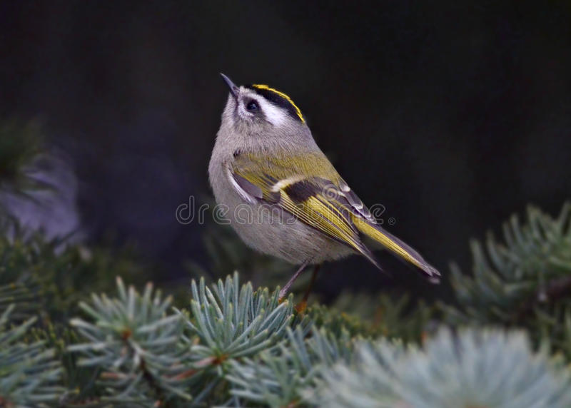 Kinglet D'or-couronné photo libre de droits